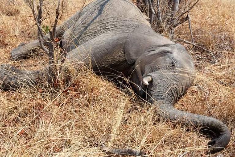 Ao menos 55 elefantes morreram de fome no Parque Nacional Hwange, no Zimbábue, nos últimos dois meses, por causa da grave seca que atinge o país; há indícios de que os elefantes morreram pouco antes de chegar às poças d'água