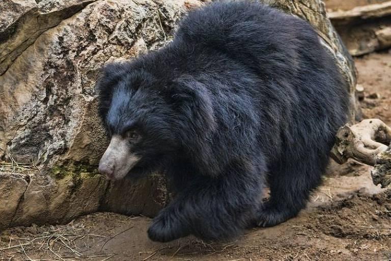 Vesícula biliar de urso-preguiça, que suspeito também retirava, é usado pela medicina chinesa e vale muito no comércio ilegal