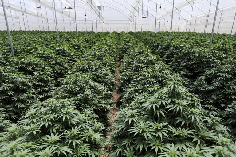 Plantas de cannabis são vistas enfileiradas dentro de uma estufa em Pesca, na Colombia