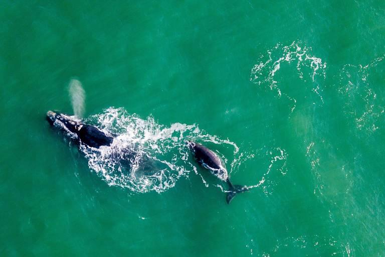 Baleias-francas avistadas em Imbituba