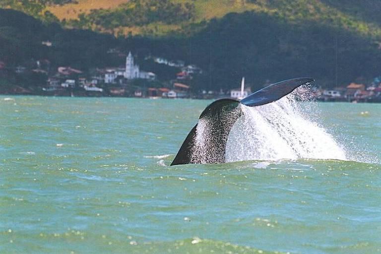 Cauda de baleia-franca avistada em praia de Garopaba