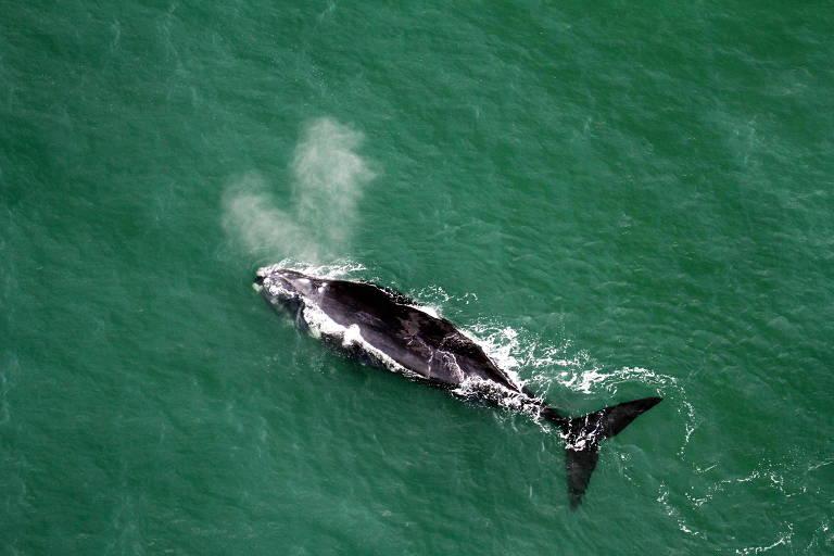 Vista aérea de baleias-francas no litoral de Santa Catarina