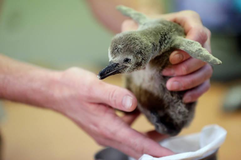 Mãos de uma pessoa seguram um filhote de pinguim que está com as asas abertas