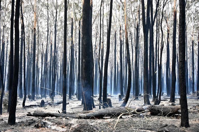 Troncos de árvores permanecem em pé, mas pretas de tão queimadas
