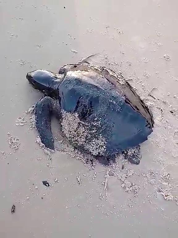 Tartaruga coberta de óleo na praia de Itatinga, no Maranhão