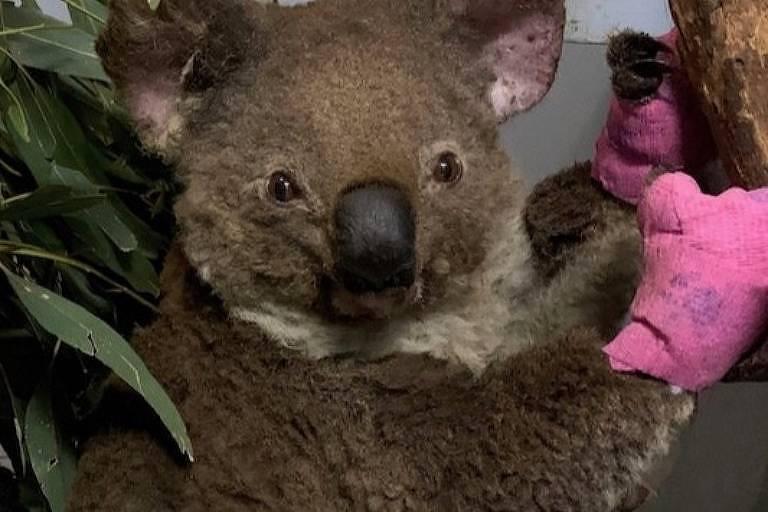Ao menos cinco coalas tiveram ferimentos graves