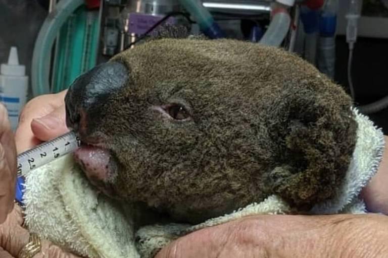 Australianos tentam salvar coalas e cangurus vítimas dos incêndios
