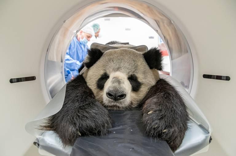 Panda deitado de barriga para baixo na máquina de tomografia; na foto, aparece com a carinha sobre a mesa e as patinhas da frente esticadas