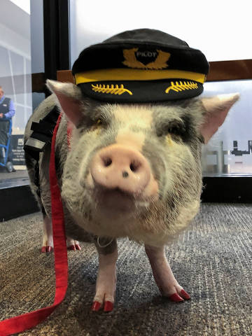 LiLou the therapy pig stands in the departure area at San Francisco International Airport in San Francisco, California, U.S., October 4, 2019. Picture taken October 4, 2019. REUTERS/Jane Ross ORG XMIT: HFS-JR903