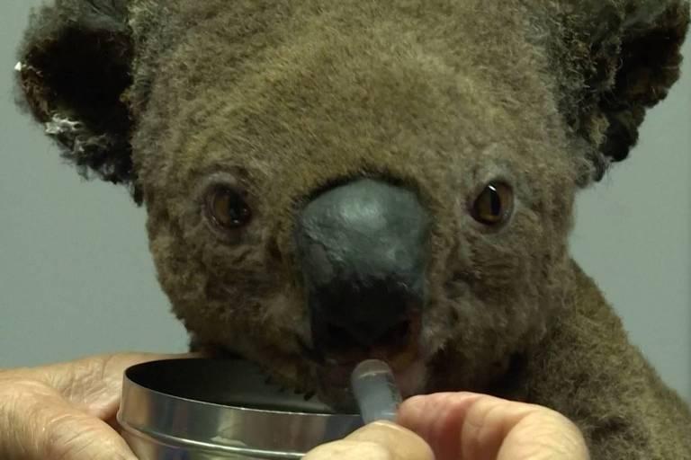 Coala recebe atendimento após se resgatado de incêndio na Austrália