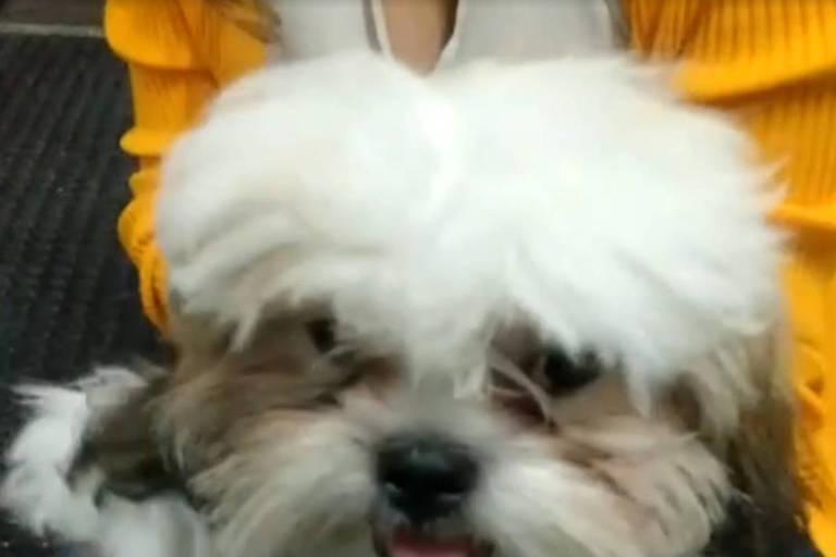 Cachorro da raça lhasa apso apreendido durante operação da polícia