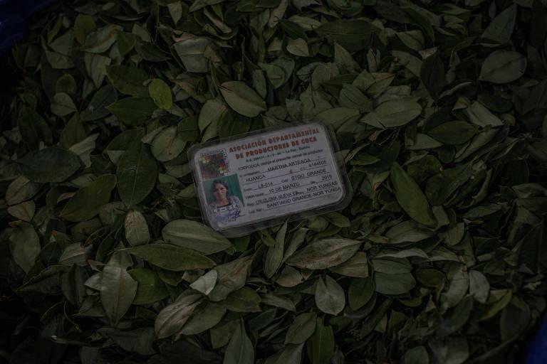 carteirinha com foto e emblema oficial em cima de folhas de coca