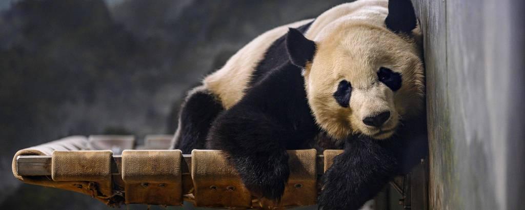 O panda Bei Bei no zoológico nacional de Washington
