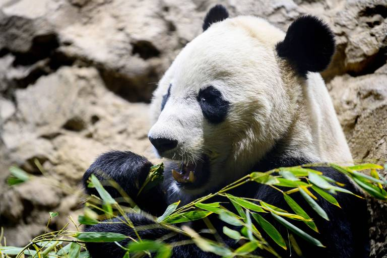 Panda Bei Bei sai do zoológico de Washington com destino à China