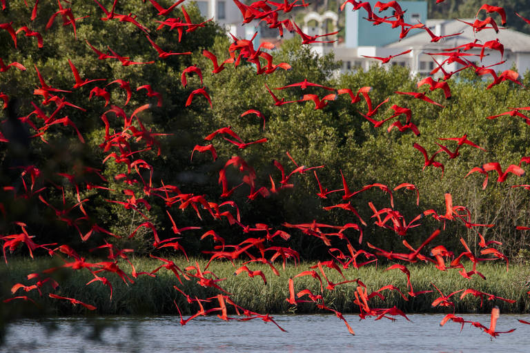 Guarás sobrevoam a região do Manguezal do Itacorubi, entorno da Estação Ecológica de Carijós, unidade de conservação federal no norte da ilha de Santa Catarina