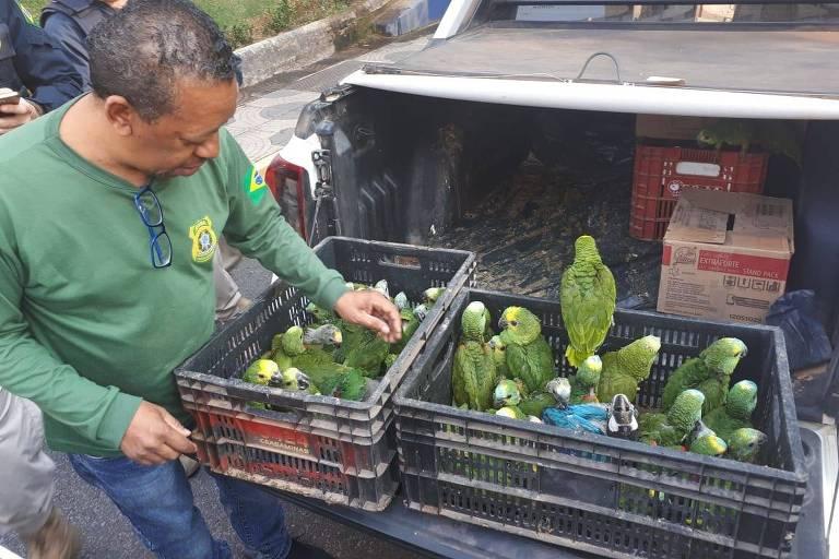 Papagaios apreendidos em operação do Ibama neste ano em Minas Gerais