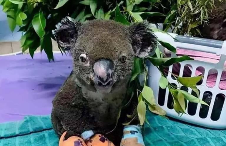 Animais resgatados em incêndios na Austrália