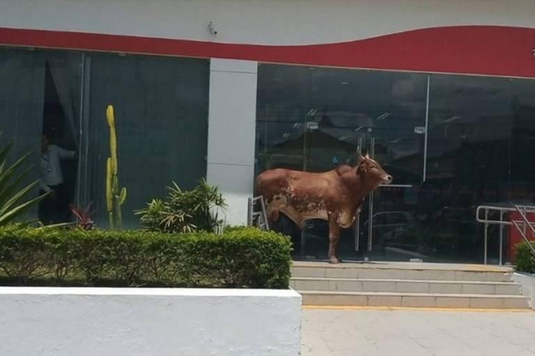 Boi bloqueia entrada de agência do Bradesco em Gravatá, Pernambuco