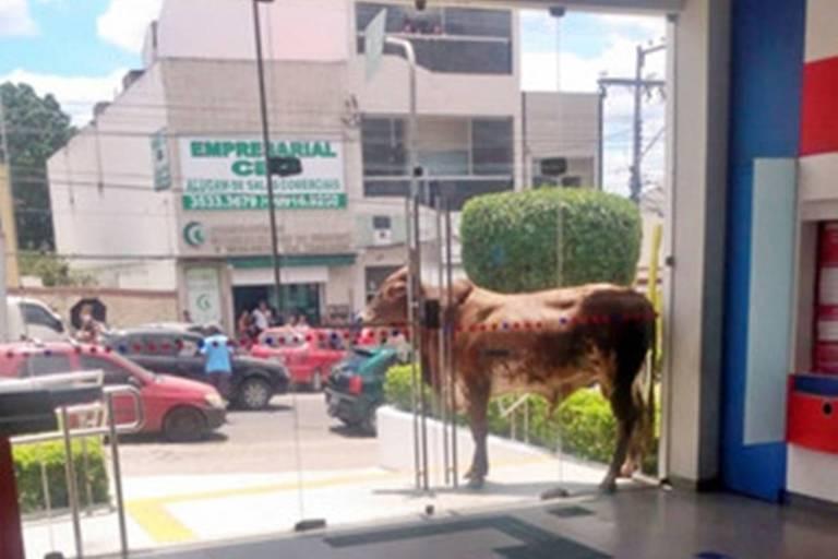 Boi bloqueou entrada de agência bancária em Gravata