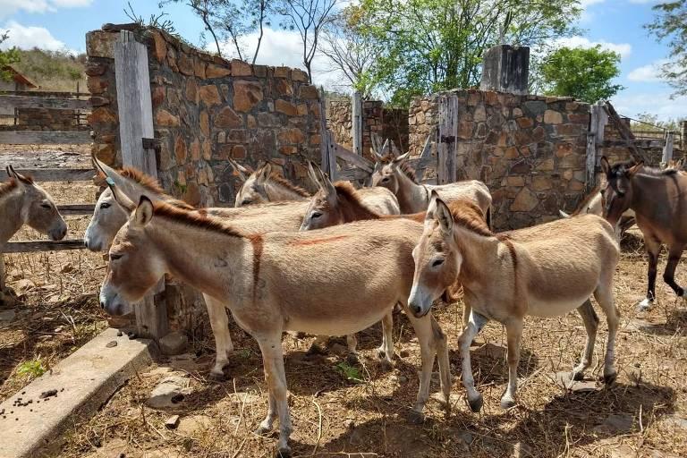 Jumentos resgatados que agora vivem em uma fazenda na Bahia
