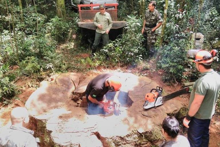 Derrubada ilegal de 17 árvores raras rendeu multa de R$ 12.750
