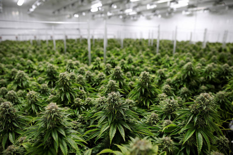 Empresas de cannabis veem cenário promissor com projeto de cultivo no Congresso