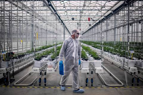 (FILES) In this file photo taken on April 24, 2019 A worker checks cannabis plants in a greenhouse of Tilray medical cannabis producer's European production site in Cantanhede, Portugal. - After North America, the cannabis industry dreams of conquering the European market -- Britain in particular -- and is banking on changing the image of the psychoactive plant, despite regulatory constraints and ethical debates. (Photo by PATRICIA DE MELO MOREIRA / AFP)