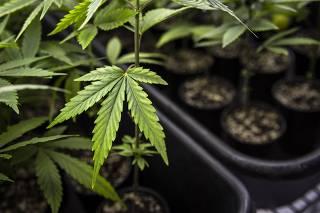Plantação de Cannabis em associação de pacientes na Paraíba
