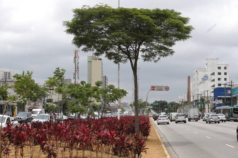 Árvores voltam para canteiro central da Radial Leste