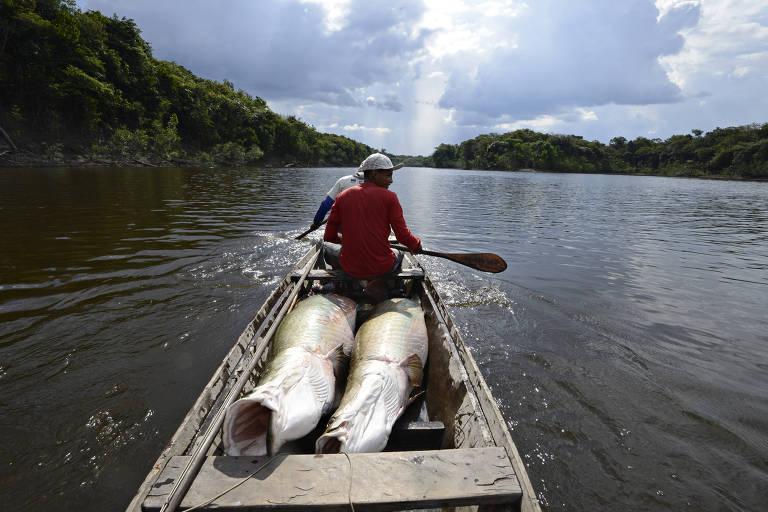 Pesca do pirarucu em território amazônico