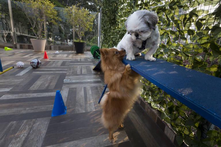 O shih tzu está sobre um banco, e o spitz está no chão, em pé, com as patas apoiadas perto do outro cachorro