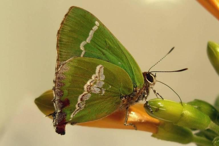Cyanophrys bertha, uma das espécies de borboleta presentes no Rio Grande do Sul (Crédito: Sabrina Thiele)