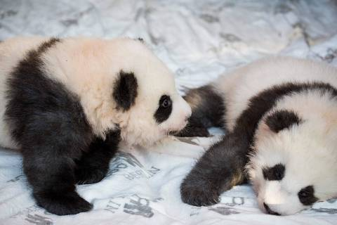 The two giant panda cubs