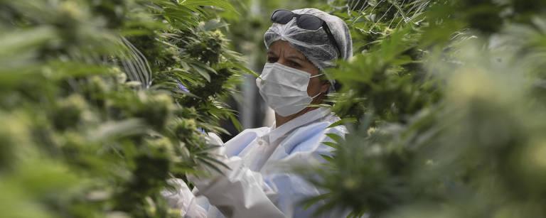 Sem aval para plantio, mercado da maconha medicinal no país prevê R$ 4,7 bi por ano