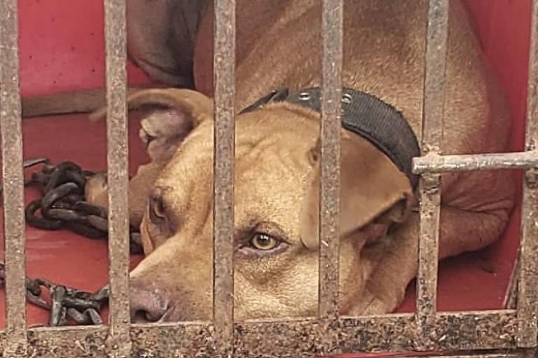 Pit bull caramelo, deitado em uma gaiola; ele é visto através de grades