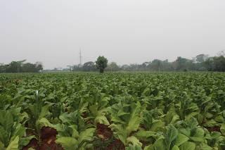 Plantação de tabaco na região de Choré, no Paraguai