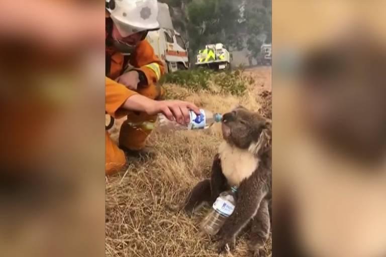 Bombeiro dá água para coala