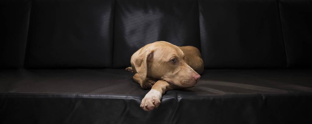 A cadelinha está deitada em um sofá, com a cabeça sobre a pata esquerda, olhando para o lado, com uma expressão melancólica