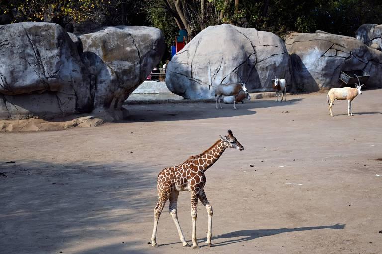 Girafa bebê no zoológico Chapultepec, no México