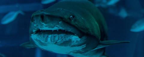 RIO DE JANEIRO - RJ 09.12.2019 - Localizado na região do Porto Maravilha o AquaRio, maior Aquário da América do Sul, se consolida como um dos pontos mais visitados do Rio de Janeiro. O tubarão lixa Margarida é uma das atrações do aquario. (Foto: Raquel Cunha/Folhapress, COTIDIANO ) ***EXCLUSIVO***