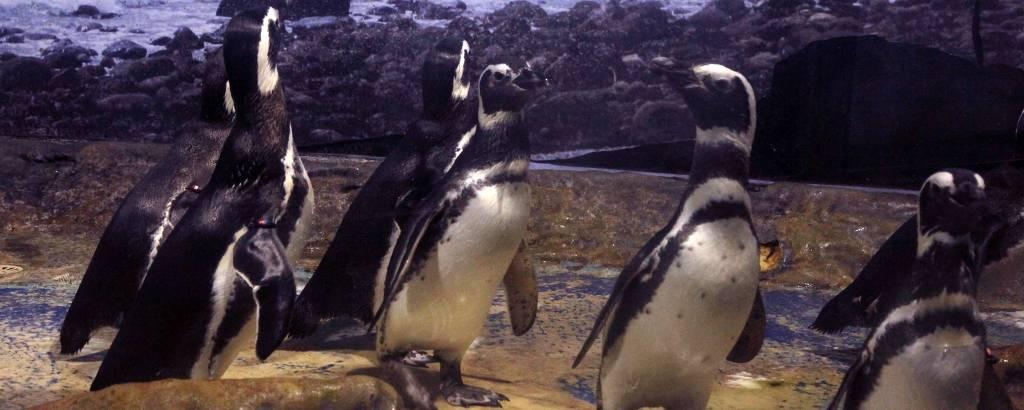 Pinguins-de-Magalhães estão entre as principais atrações do Aquário de Santos
