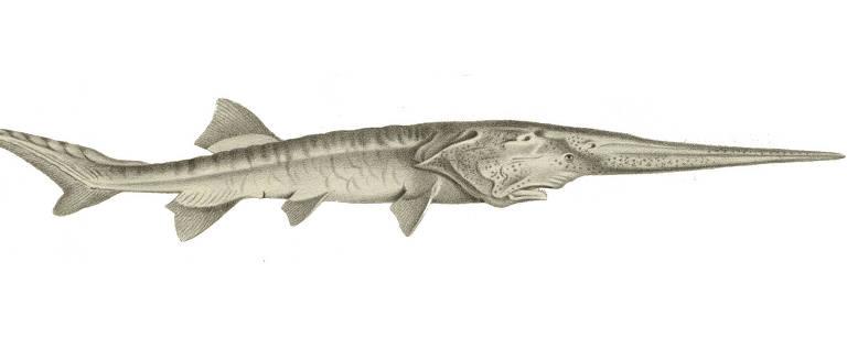 O Psephurus gladius, ou peixe-espátula-chinês, foi considerado extingo por cientistas. O animal media até 7 m e podia pesar mais de meia tonelada