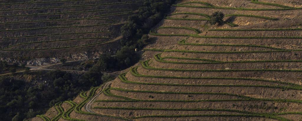 Plantações de uva na região do Douro