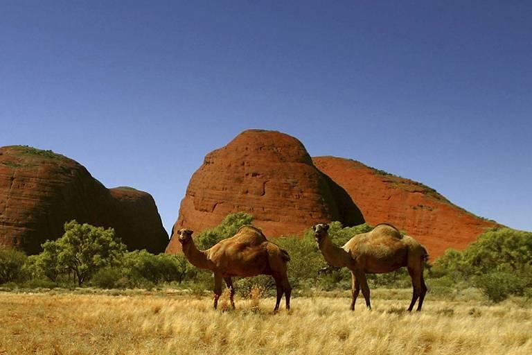 Dromedários selvagens na Austrália; 10 mil animais podem ser mortos por causa da seca que atinge o país