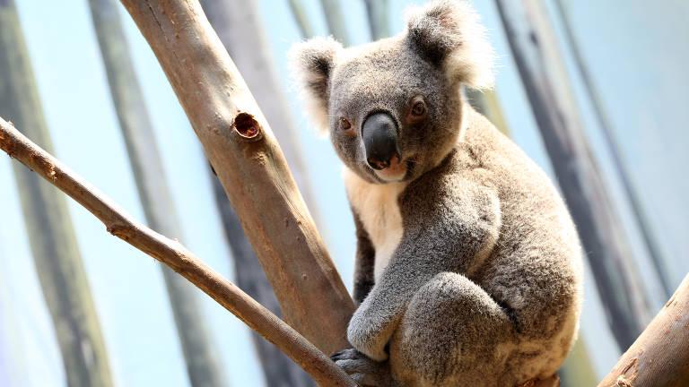 coala em cima de bambu