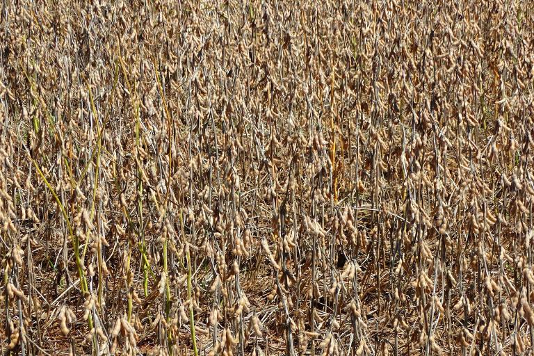 Graças aos meses de chuva é possível plantar e colher soja duas vezes ao ano