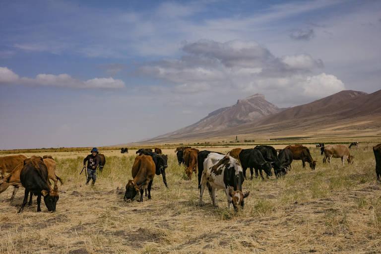 Vacas pastam no Tajiquistão