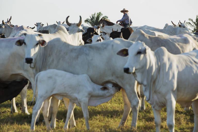 Gado na fazenda do pecuarista Pércio Barros de Lima, próxima a Paragominas (PA)