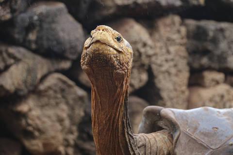 (200110) -- ISLA ESPAÑOLA, 10 enero, 2020 (Xinhua) -- Imagen del 9 de enero de 2020 cedida el 10 de enero de 2020 por el Parque Nacional Galápagos de la tortuga gigante