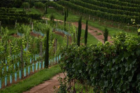 ESPÍRITO SANTO DO PINHAL, SP, BRASIL, 11-12-2019: Plantação de uva da vinícola Guaspari, de Espírito Santo do Pinhal. A produção de vinho de alta qualidade no interior de SP cresceu. Uma das mais conhecidas é a Guaspari, na região de Andradas/Espírito Santo dos Pinhais. Há também a mineira Maria Maria. (Foto: Eduardo Anizelli/ Folhapress, AGÊNCIA) ***EXCLUSIVO***